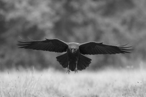 raven-flying-bw