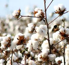 Government Implored To Lift Ban ON BT Cotton