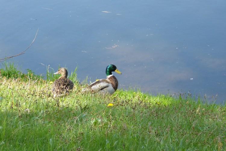 ducks-4580254_1920