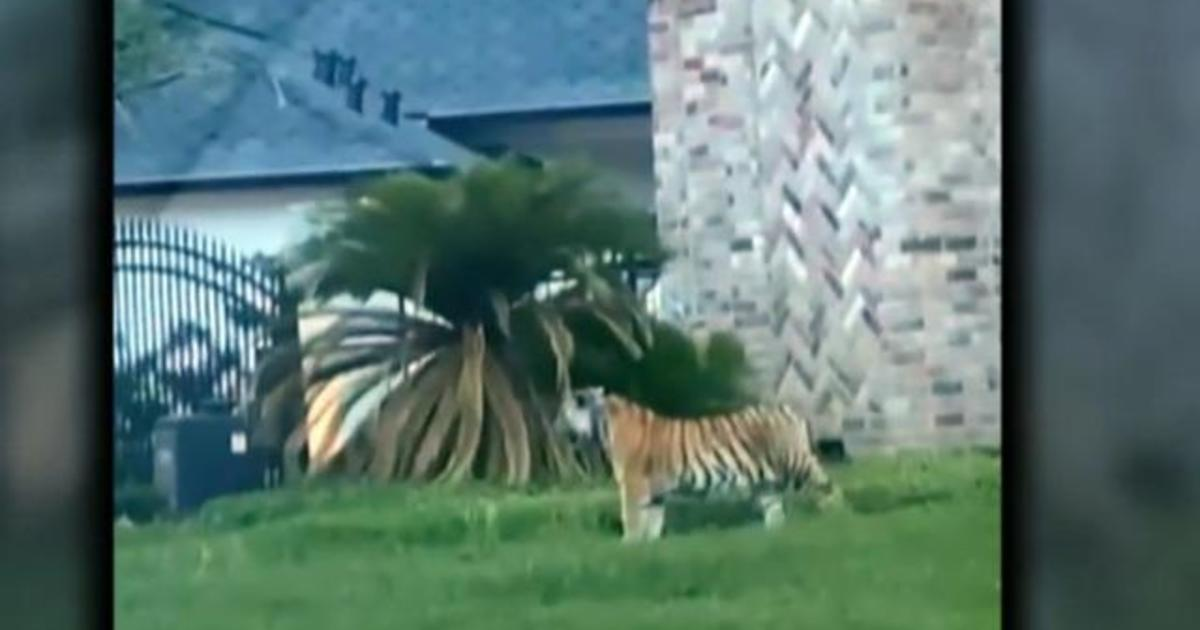 Suspect in custody after allegedly fleeing police with tiger in Houston