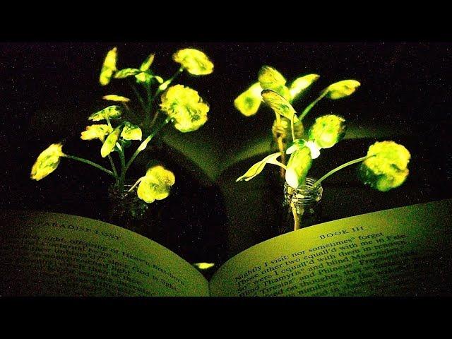 Luminous Plants from MIT: Nanobionics Turn on the Light