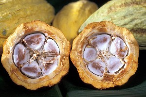 Cocoa beans in a cacao pod (Agricultural Research Service, USDA)