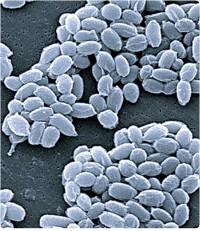 Anthrax spores (U.S. Food and Drug Administration)