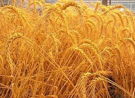 Wheat (USDA.gov)
