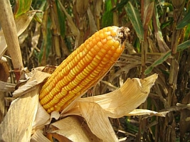 Corn (USDA.gov)