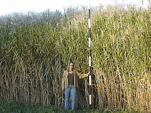 Miscanthus (Oak Ridge National Lab)
