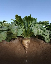 Sugar beet (USDA.gov)