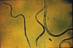 Nematodes (USDA.gov)