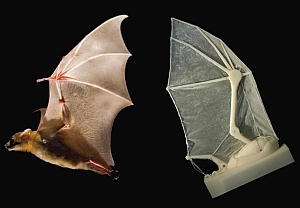 Flying bat and robotic wing (Brown University)