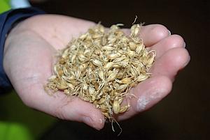 Grains of Chevallier barley (John Innes Center)