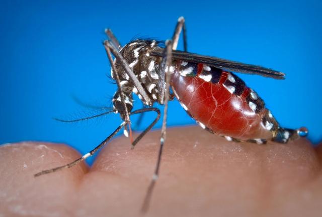 Aedes albopictus mosquito