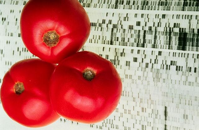 Tomato genetics