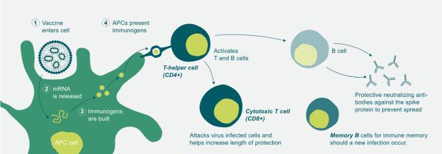 mRNA vaccine graphic
