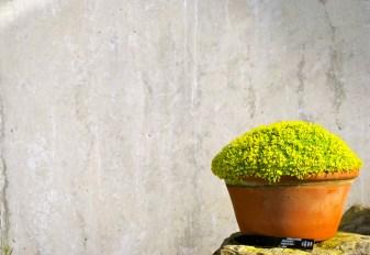 Kew pot yellow flowers