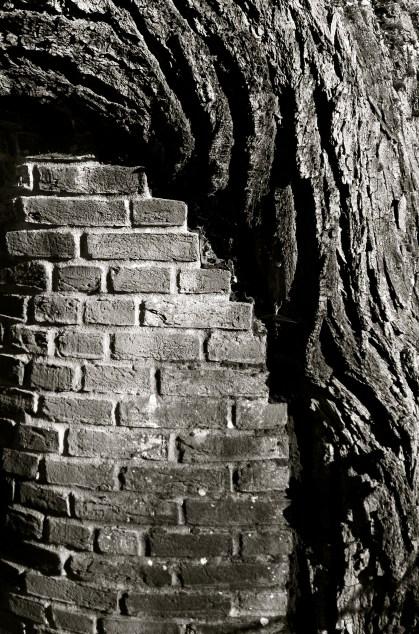 Kew wall bark