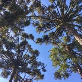 Araucaria Canopy