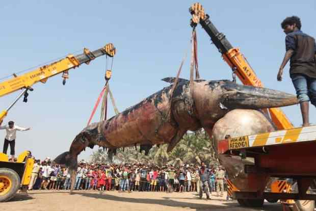 whale washes up in mumbai juhu