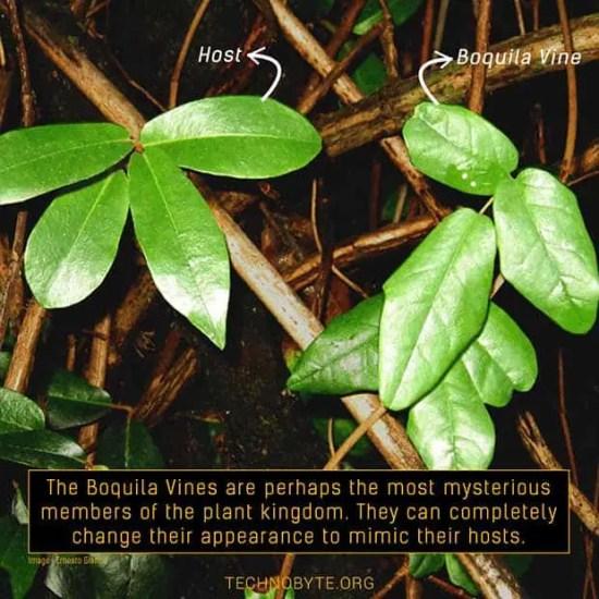 Boquila Vine bizarre mysterious plant mimicry morph tb