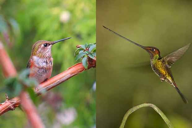 beak comparison sword-billed hummingbird and normal hummingbird