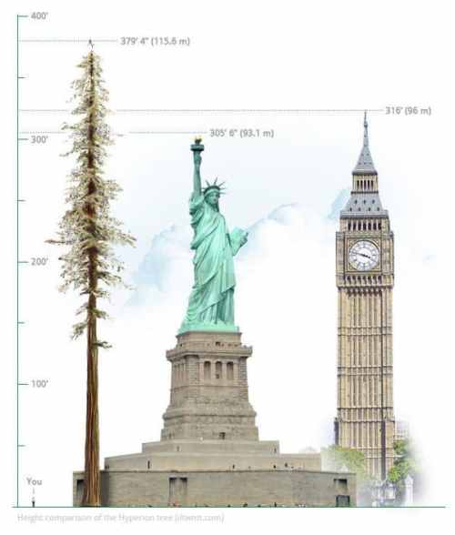 Hyperion-tallest tree in the world
