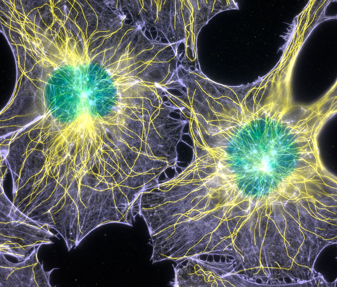 2003: Filamentous actin and microtubules (structural proteins) in mouse fibroblasts (cells)