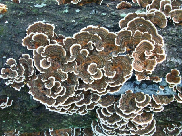"""The """"white rot"""" mushroom Trametes versicolor, also known as """"Turkey Tails"""""""