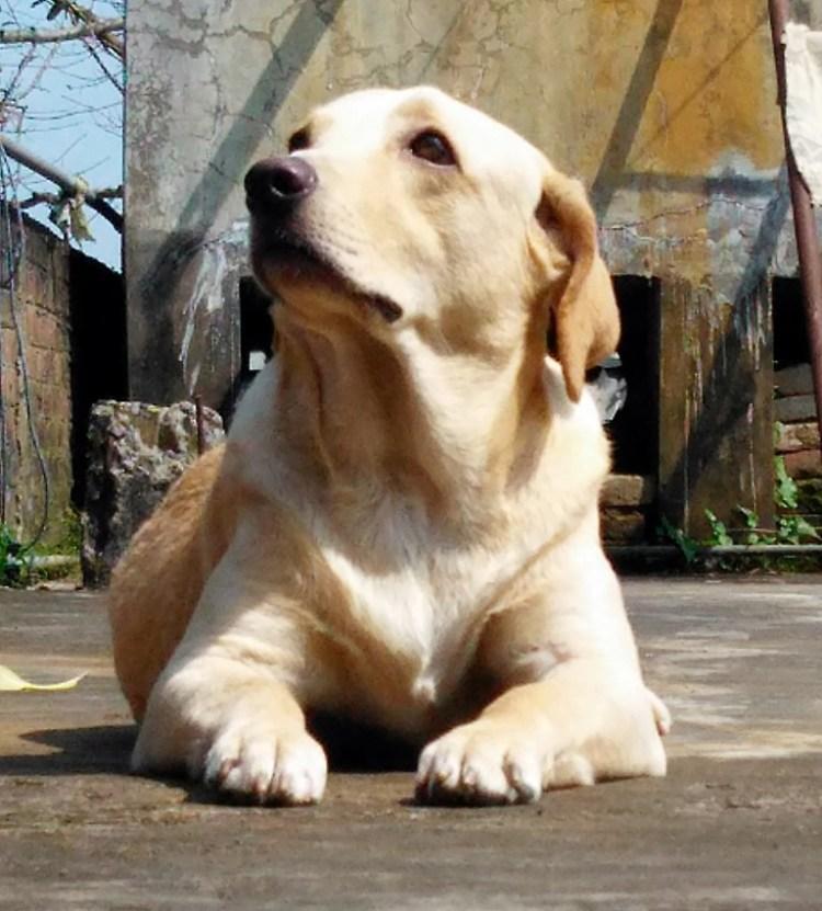 image of labrador puppy