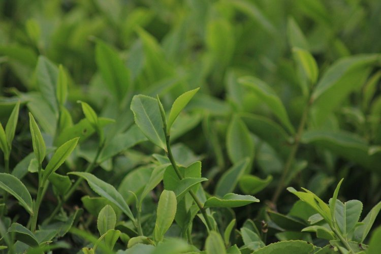 green-tea-leafs