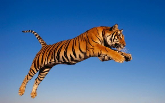 Free Download Tiger Theme for Windows 7 Tiger Attacking