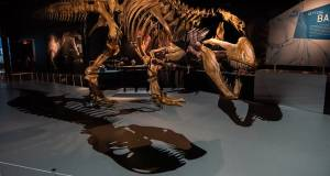 Dwarf Tyrannosaurus Rex Probably Never Existed, Fossils Found In Early 2000s Are Of Juveniles: Study
