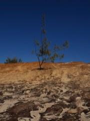 Fraser-Island-sandhill-lone-tree