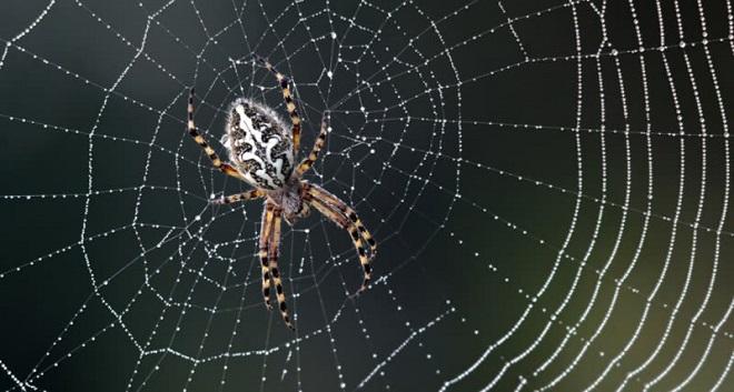 Spider silk in microphoness