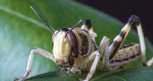 desert locusts kenya