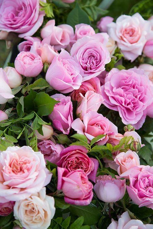 o roso lindo
