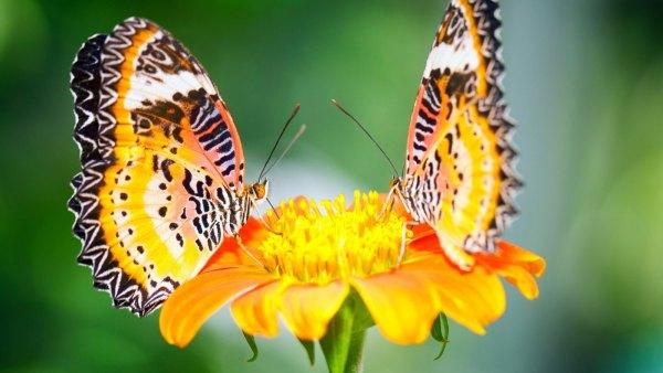 lindas borboletas nas flores