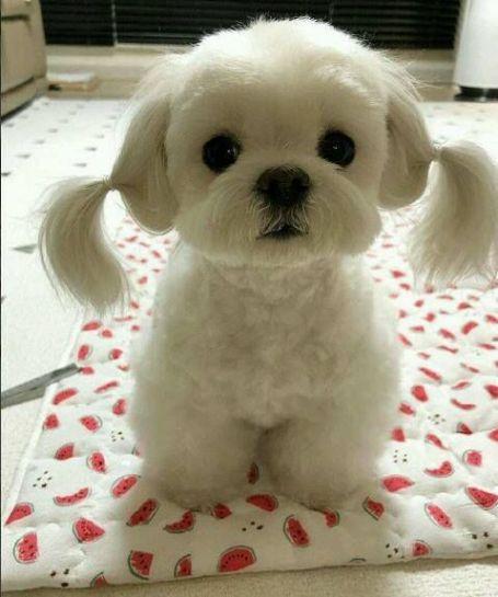 Cachorro fofo com cabelo amarrado