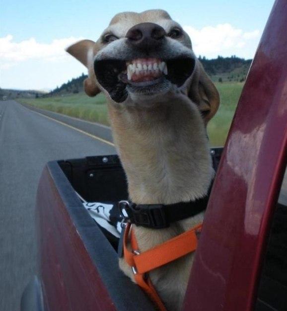 Cachorro engraçado na carroceria do carro