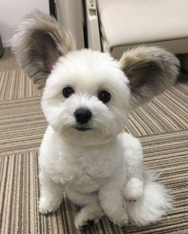 Cachorro fofo orelhudo