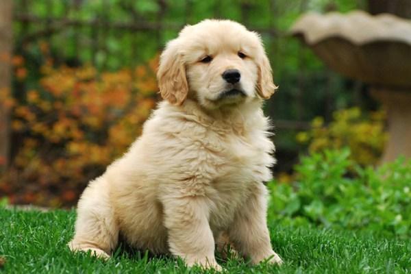 Foto de cachorro golden