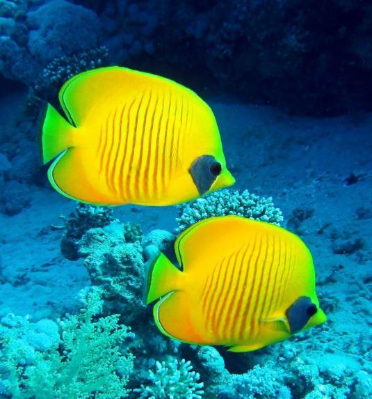 Imagens de peixes amarelos