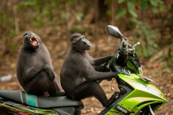 Foto engraçada macacos na moto