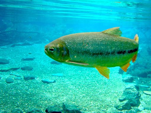 Peixe de rio