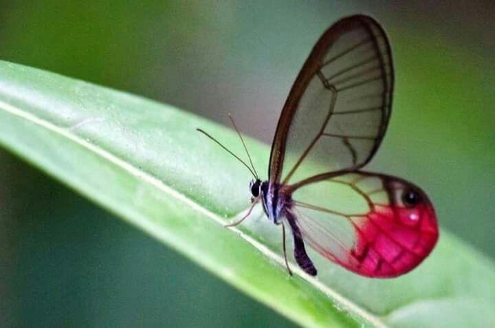 as asas transparente