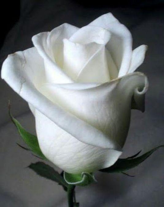 rosas também são branca