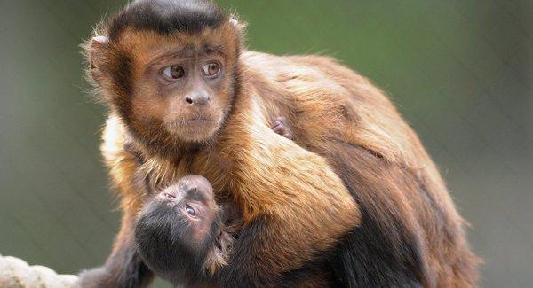 macacos mãe e filhote.