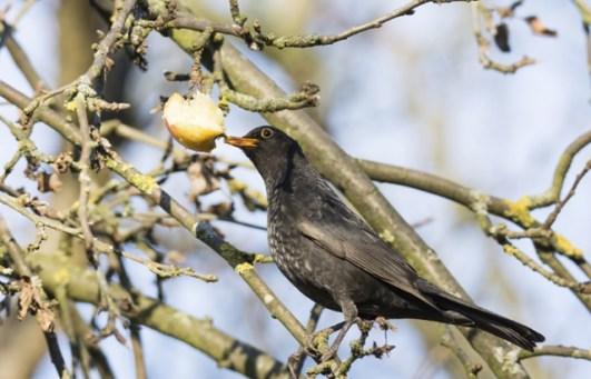 fruta da árvore do pássaro