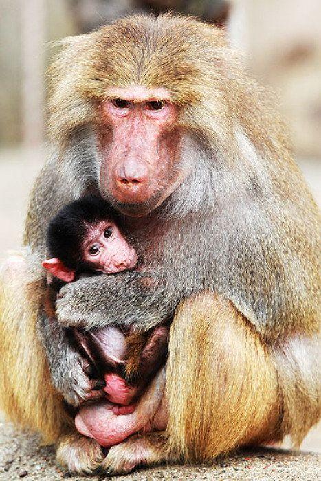 Babuínos mãe e filhote abraçado.