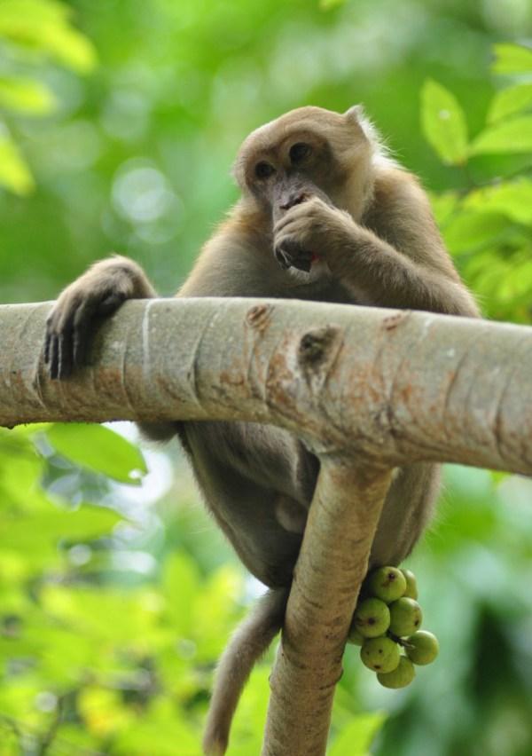 Macaco na árvore comendo fruta.