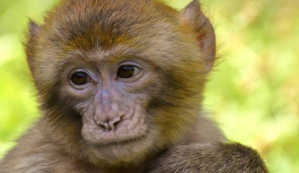 Macaco da natureza.