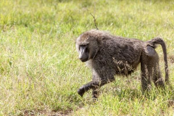 Macaco babuíno passeando.
